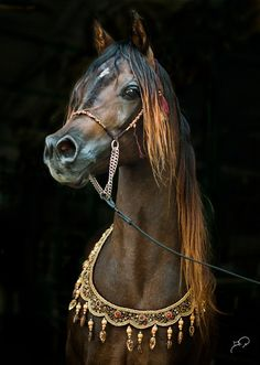 Al Shakhoura - beautiful Arabian horse, photo by BPA Photography