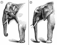 Comparative anatomy of Asian and African elephants.