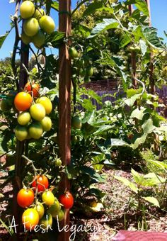 Growing Vegetables – Tomatoes. Tips and information on growing a healthy abundant crop of fresh tomatoes at home