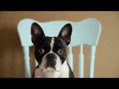 SO CUTE! French Bulldog vs Cupcake #frenchie #frenchbulldog #cutedogs #dogs