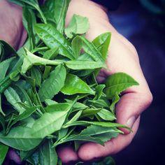#Tealeaves grown southern Chile   #teahunting #Araucania #o5tea #teabar