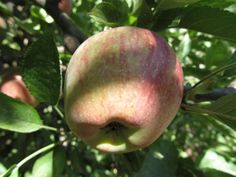 Go Explore Nature: 9 Tips for Apple Picking With Kids