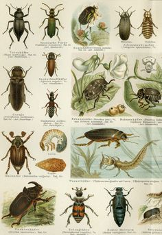 "1896 gematteerd antieke Insect Print kevers Bugs 12 x 16"" entomologie griezelige Crawly Vintage Decor"