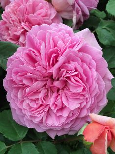 Princess Alexandra of Kent, English Old Rose Hybrid. Warm pink blooms. Tea fragrance with aspects of lemon and blackcurrants.