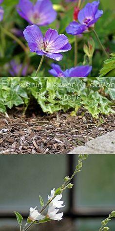 Storchschnabel - ein wahres Blühwunder, ein Blütenmeer ... & Eibisch, so filigran