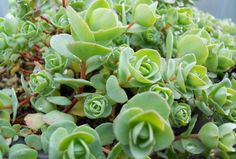 Ornamental, drought-tolerant succulent plants perfect for garden containers, or greenroofs.