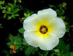 Nossa Editora de Jardinagem, a Marcia Nassrallah está começando esta série que você vai amar: Só plantas fáceis de cuidar! Nestes tempos atribulados o que há de melhor que ter verde em casa com pouco trabalho ? E aí vai a primeira: A Flor do Guarujá!