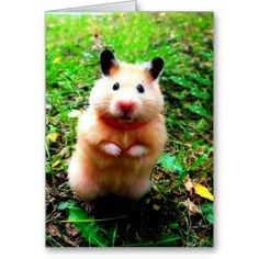 Awe the hamster is SO cute! But don't ever put your hamster on a leash. It's dangerous and it's hamster abuse Teddy Hamster, Bear Hamster, Hamster Care, Cute Baby Animals, Animals And Pets, Funny Animals, Wild Animals, Cute Hamsters, Little Critter