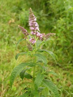 Temperate Climate Permaculture: Permaculture Plants: Mint