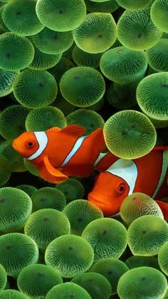 Clown fish by VoyageVisuelle