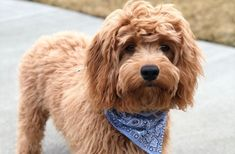12 Amazing Things About Cavoodle - Charles Spaniel Poodle Mix Dog<br> Cavoodle Dog, Cavapoo Puppies, Spaniel Puppies, Cockapoo, Cute Puppies, Instant Pot Baby Food, Poodle Mix Dogs, Pet Shampoo, King Charles Spaniel