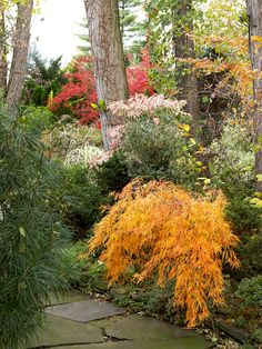 Plants develop different shapes as they grow. Some have a narrow, upright look; others are mounded; and others gracefully weep like this golden 'Viridis' Japanese maple. Combine plants with various habits to make your landscape more intriguing.
