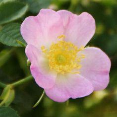 rosa canina, wild rose ロサ・カニナ