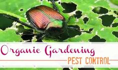 Organic Gardening.  Learn ways to keep away the bugs organically.    Organic Pest Control