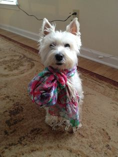 A westie in a Lilly scarf!!