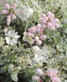 斑入りシレネ・ユニフローラ 『シュネークライト』 | すべての商品 | | Junk sweet Garden tef*tef*