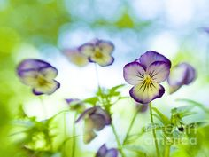 Dreamy Violas A dreamy image of lovely viola flowers captured with my Lensbaby for unique bokeh done in camera.