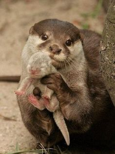 Otter Mom seems to be showing of her little newborn.