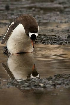I️ never knew i was THIS CUTE.no wonder y'all are so crazy about us penguins! Beautiful Birds, Animals Beautiful, Beautiful Pictures, Hello Beautiful, Funny Animals, Cute Animals, Gentoo Penguin, Penguin Love, Penguin Party