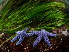 Sea Star Couple