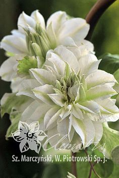 Advice on everything gardening White Clematis, Clematis Flower, Clematis Vine, Trees And Shrubs, Trees To Plant, Landscaping Plants, Garden Plants, Pretty Flowers, White Flowers