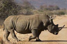 Rhino crossing!  Mateya Safari Lodge | Africa Travel