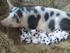 Now that is a litter of piglets