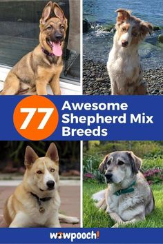 77 Gorgeous #Shepherd #Dog #Mixes  Learn about Shepherd mixed #doggy #breeds  These dogs are lovable and loving. They will share every part of your life with you. Big Dog Little Dog, Big Dogs, Large Dogs, Mountain Dog Breeds, Welsh Sheepdog, American Indian Dog, American Shepherd, Dog Crossbreeds, Wild Animals Pictures