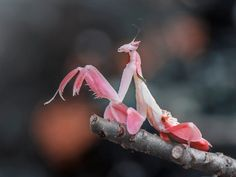 10 animals that are more beautiful than you The female orchid mantis is pretty in pink. Beautiful Bugs, Most Beautiful Animals, Beautiful Creatures, Most Beautiful Butterfly, Cool Insects, Bugs And Insects, Betta, Mantis Tattoo, Pretty In Pink