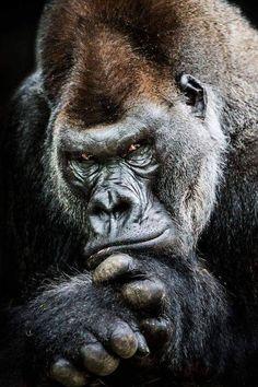 Western Lowland Gorilla II by Abeselom Zerit on Silverback male Nature Animals, Animals And Pets, Funny Animals, Cute Animals, Strange Animals, Unique Animals, Beautiful Creatures, Animals Beautiful, Regard Animal