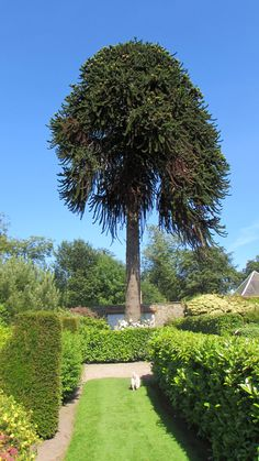 Our huge Monkey puzzle tree in the walled garden as old as the castle itself.