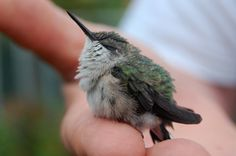 hummingbird chick, little fluff.