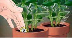 How to Grow a Jade Plant. Jade plants (sometimes called a money plant) are a type of succulent plant. These plants are easy to grow and maintain; Crassula Ovata, Crassula Succulent, Types Of Succulents Plants, Jade Plants, Planting Succulents, Jade Bonsai, Bonsai Tree Care, Indoor Bonsai Tree, Jade Plant Care