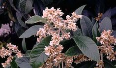 #4 Eriobotrya japonica note this plant has poison characteristics