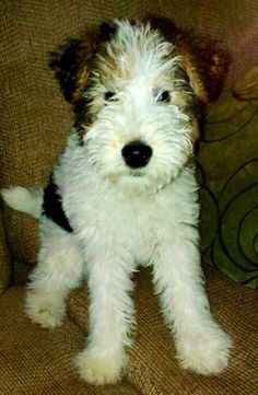 Wallace! The wire fox terrier puppy