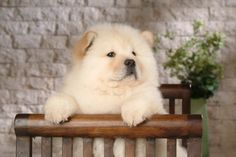 My Dogs - Fluffy Chow Chow Puppies Photographs - Fluffy Chow Chow Puppy wallpaper 2 Chow Chow Branco, White Chow Chow, Chow Dog Breed, Chow Chow Dogs, Baby Puppies, Cute Puppies, Dogs And Puppies, Cute Dogs Breeds, Dog Breeds
