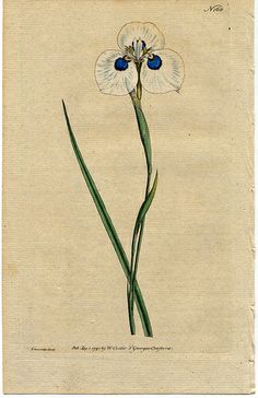 The Botanical Magazine, Plate 168 (Volume Family: Iridaceae Subfamily: Iridoideae Tribe: Irideae Genus: Moraea Species: M. Vintage Botanical Prints, Botanical Drawings, Vintage Prints, Botanical Flowers, Botanical Art, Photo Illustration, Illustrations, Nature Illustration, Merian