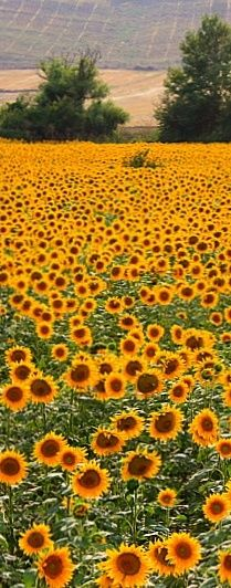 All orange flowers and yellow flowers are beautiful and with meanings of their own. Sunflowers And Daisies, Orange Flowers, Pretty Flowers, Sun Flowers, Types Of Oranges, Sunflower Pictures, Sunflower Fields, Sunflower Garden, Lavender Fields