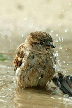 bathing Sparrow