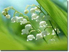 Eme szép növény,mily finom illattal rendelkezik és oly  szelíd,még is milyen veszélyes.