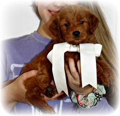Check out our list of all upcoming Goldendoodle litters and Double Doodle litters below. Please fill out the puppy application and we will contact you. Toy Goldendoodle, Double Doodle, Breads, Doodles, Teddy Bear, Puppies, Toys, Animals, Bread Rolls