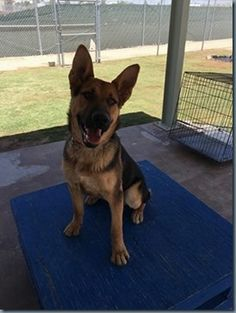 Paws also welcomed a new canine cadet to the program. Canine Cadet Gus is an 11-month old German Shepherd.  The canine cadets that are part of the PAWS vocational program can be adopted through the Animal Rescue League of El Paso.