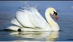 """In the introduction to the section""""Feathers From A Thousand Li Away""""an old woman shares her story of a swan that she brought from a vendor in Shanghai. Although when she sails to America it was taken from her. -Naya"""