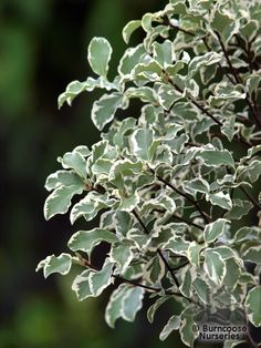Pittosporum Tenuifolium 'Variegatum' - ht: 13ft x sp: 6ft.  Evergreen