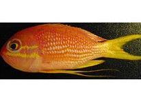 Nueva especie de pez familia del mero descubierto recientemente en el siglo 21 en las profundidades del canal de la mona!   Odontanthias Hensley es el nombre del pez!