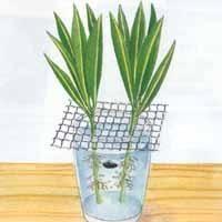 Bouturer le laurier rose : Attendre l'apparition des racines Plus