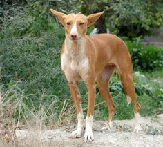 Podenco (Podenco Andalusian), Rambla de Oria, Oria, Spain. This breed is beautiful and have one myself, for some reason they have a tough time of it in Spain and hear of many sad tales about the way they are treated.