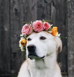 These Flower Crown Wearing Dogs are Ready for Music Festival Season - Funny pictures and memes of dogs doing and implying things. If you thought you couldn't possible love dogs anymore, this might prove you wrong. All Dogs, I Love Dogs, Mery Chrismas, Cute Puppies, Cute Dogs, Corgi Puppies, Animals And Pets, Cute Animals, Sweet Dogs