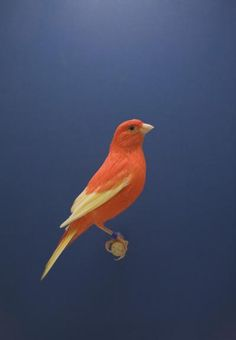Luke Stephenson - Red Canary #2, from 'The Incomplete Dictionary of Show Birds', 2009