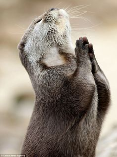 Our family animal is the Otter. How could you ever look at an Otter & be sad? Animals And Pets, Baby Animals, Funny Animals, Cute Animals, Wild Animals, Cute Kittens, Beautiful Creatures, Animals Beautiful, Animal Pictures